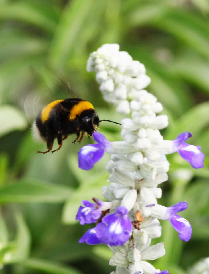 写真,素材,無料,フリー,フォト,クリエイティブ・コモンズ,風景,壁紙,セイヨウオオマルハナバチ, はち, 蜂, ハチ, ファンタジー