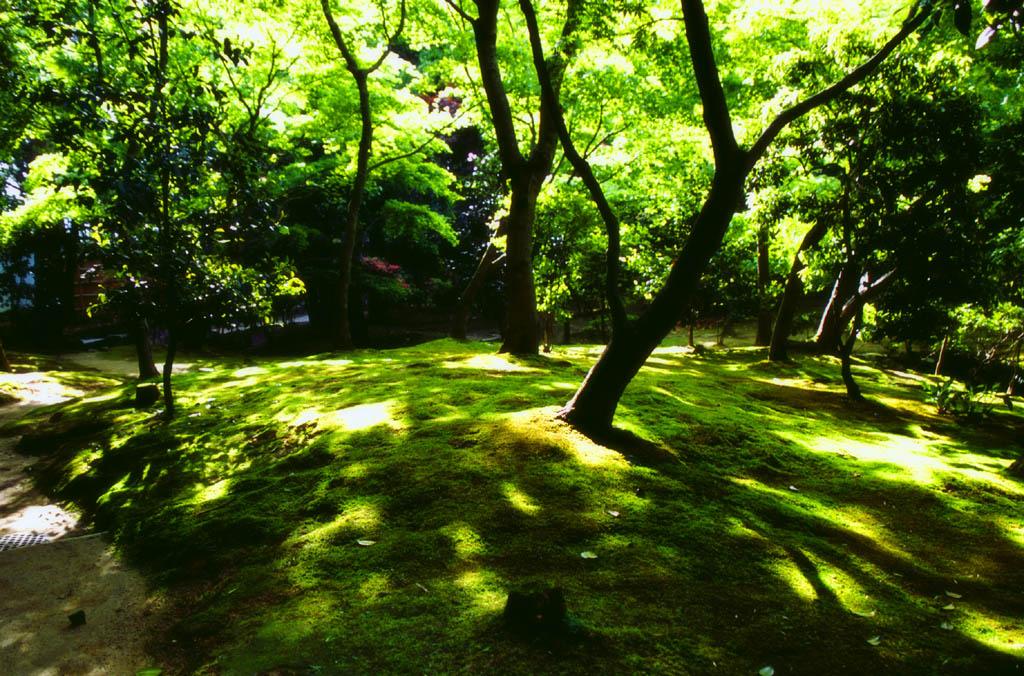 写真,素材,無料,フリー,フォト,クリエイティブ・コモンズ,風景,壁紙,新緑の木漏れ日, 銀閣寺, 苔, 木,