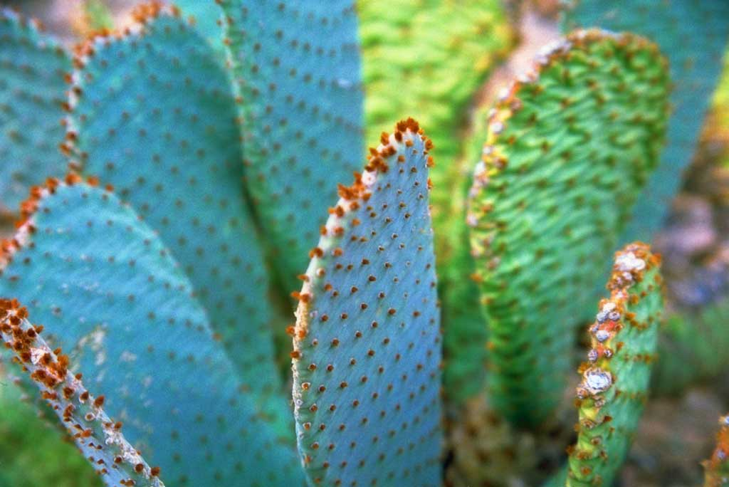 photo,material,free,landscape,picture,stock photo,Creative Commons,Prickly pear, cactus, , ,