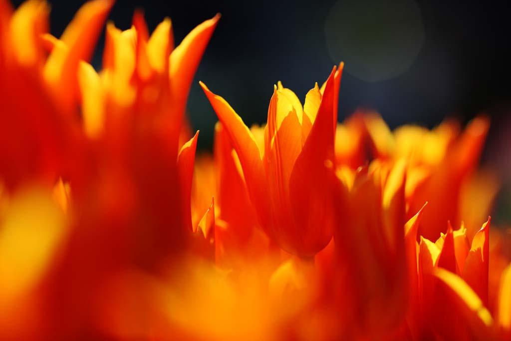 写真,素材,無料,フリー,フォト,クリエイティブ・コモンズ,風景,壁紙,チューリップ, チューリップ, 花弁, 可憐, 綺麗