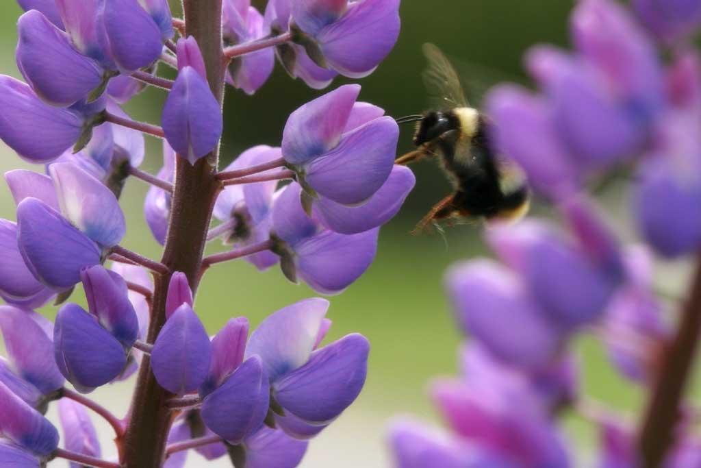 写真,素材,無料,フリー,フォト,クリエイティブ・コモンズ,風景,壁紙,蜂の居る風景, 蜂, ルピナス, 花, 虫