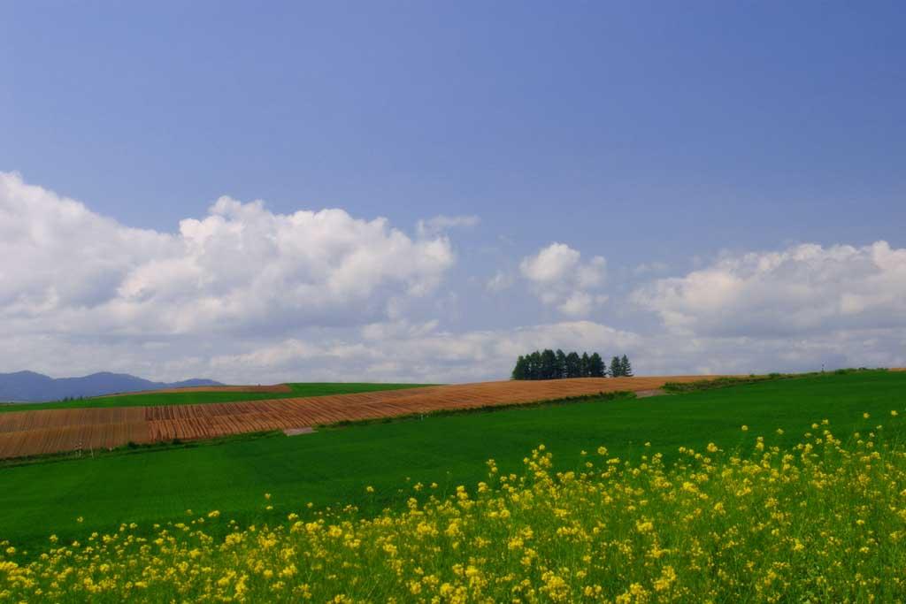 Foto, materieel, vrij, landschap, schilderstuk, bevoorraden foto,Verkrachten bloesem veld en bewolking, Bloesem, Wolk, Blauwe lucht, Veld
