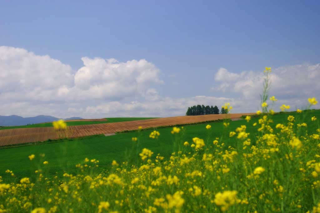 photo,material,free,landscape,picture,stock photo,Creative Commons,Summer in a rape blossom field, blossom, cloud, blue sky, field