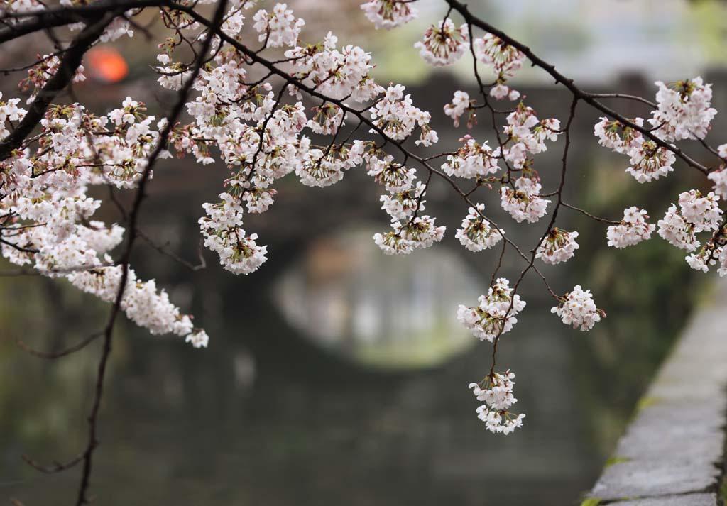 写真,素材,無料,フリー,フォト,クリエイティブ・コモンズ,風景,壁紙,倉敷 桜, さくら, 桜, 橋, 日本文化
