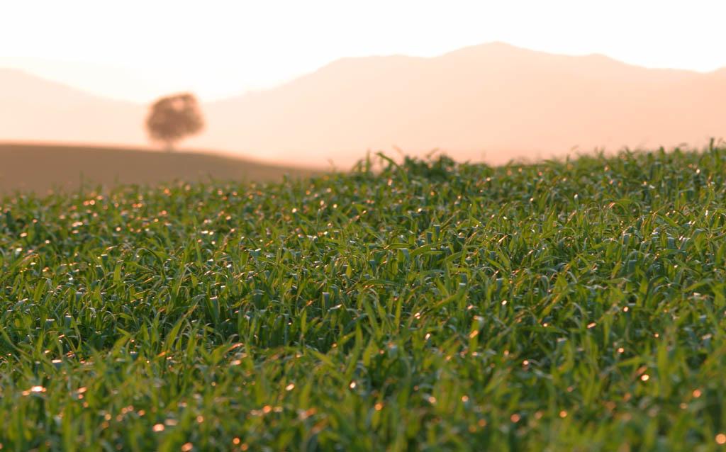 写真,素材,無料,フリー,フォト,クリエイティブ・コモンズ,風景,壁紙,麦畑の丘, 畑, 夕日, 麦, 緑