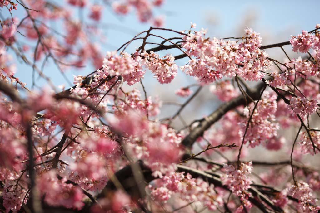 Yun fotografie di scorta gratis no 9842 gensuke albero for Albero ciliegio